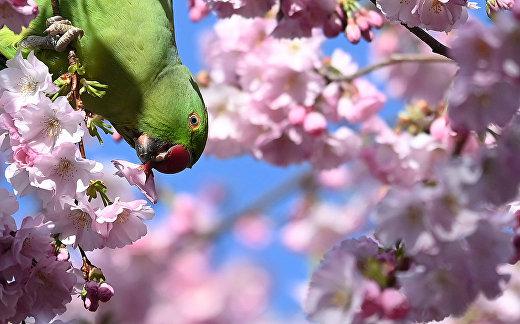 Попугай в Сент-Джеймсском парке в Лондоне