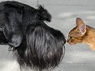 Ризеншнауцер и кот