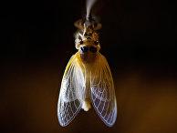 Взрослая цикада сушит крылья на дереве возле парка Рок-Крик в Вашингтоне