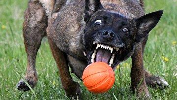Собака хватает мяч