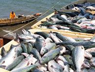 Лов горбуши во время лососевой путины