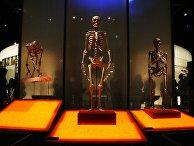 Скелеты шимпанзе, современного человека и неандертальца в Зале происхождения человека Американского музея естественной истории, Нью-Йорк, США