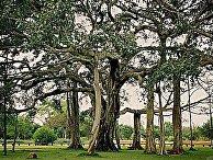 Дерево «Тиммамма Марриману»
