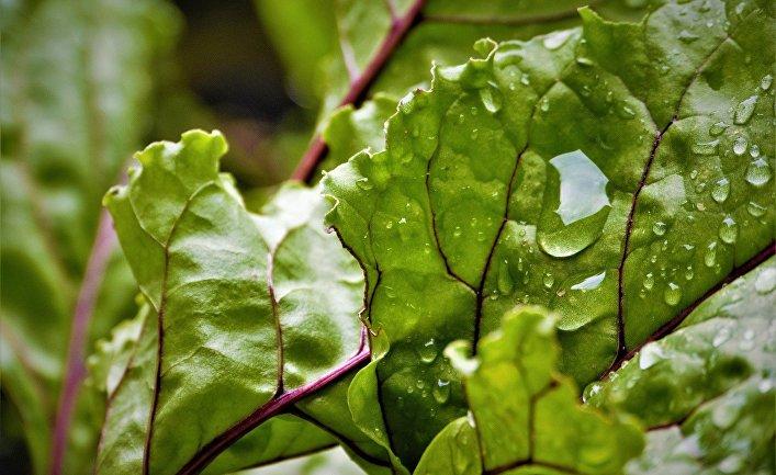 Листья свеклы