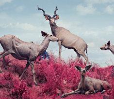 Антилопы куду