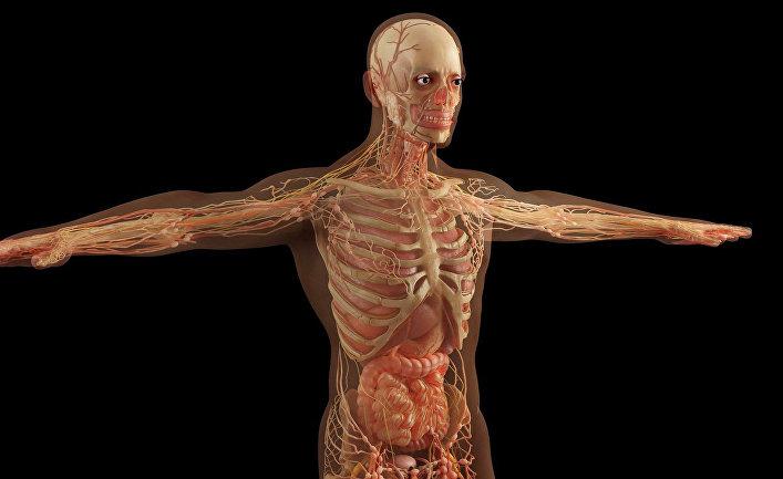Строение органов человека